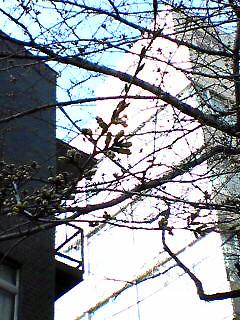 Gangi-zaka_Tsubomi_050330_083801