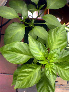 Growing-up_HABANERO_050813_140201